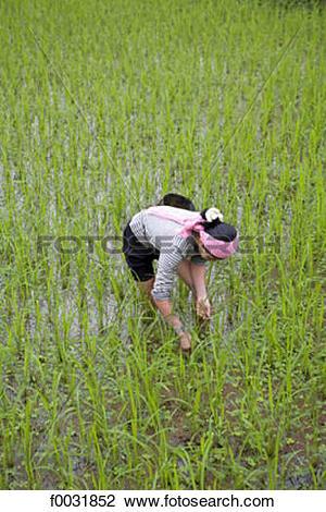 Stock Photo of Vietnam, Mai Chau, ricefields. f0031852.