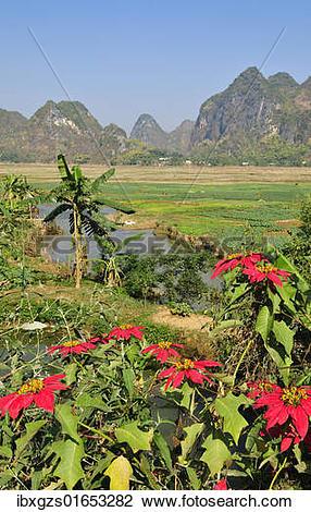 """Stock Photo of """"Poinsettia (Euphorbia pulcherrima), Mai Chau."""