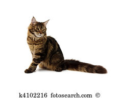 Maine coon cat Stock Photos and Images. 4,250 maine coon cat.