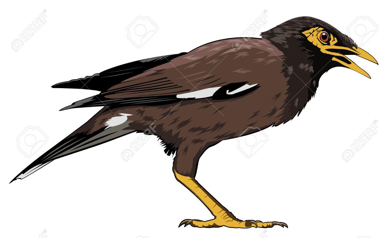 Maina bird clipart.