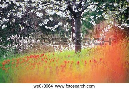 Stock Photo of Meadow with Tulips next blooming Cherry Tree, Isle.