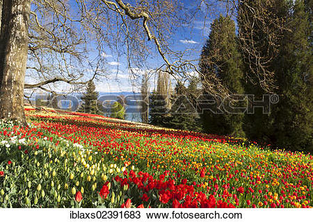 "Stock Photo of ""Carpet of tulips on Mainau Island, views of the."