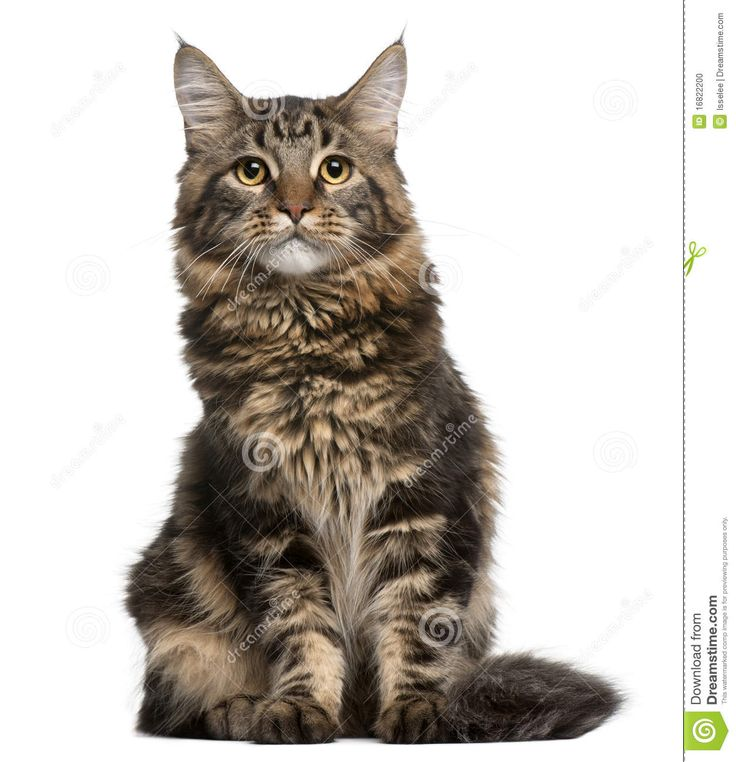 1000+ images about Maine Coon Cats on Pinterest.