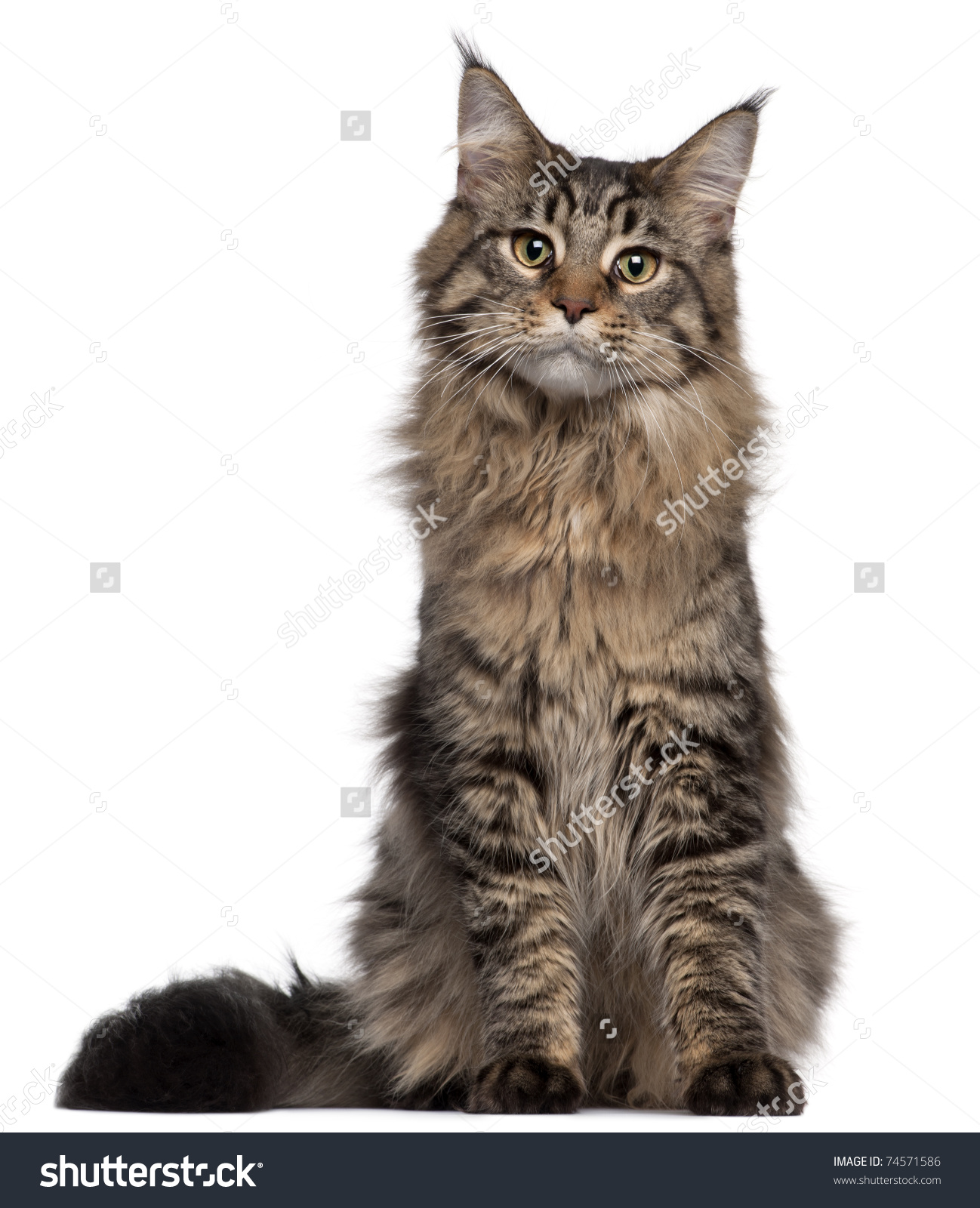 Maine Coon Cat 7 Months Old Stock Photo 74571586.