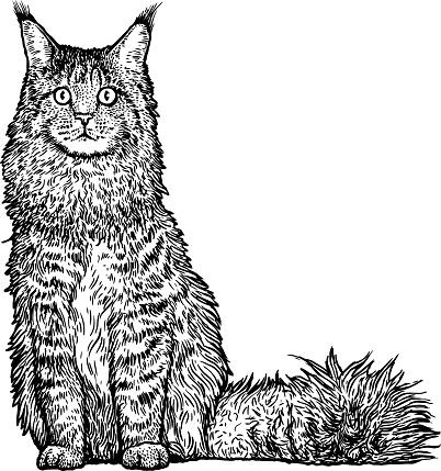 Maine Coon Cat Clip Art, Vector Images & Illustrations.