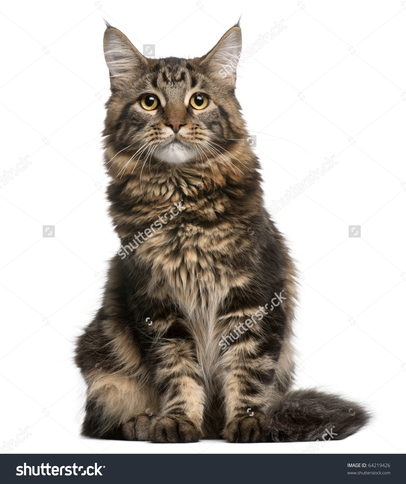 Maine Coon Cat 6 Months Old Stock Photo 64219426.