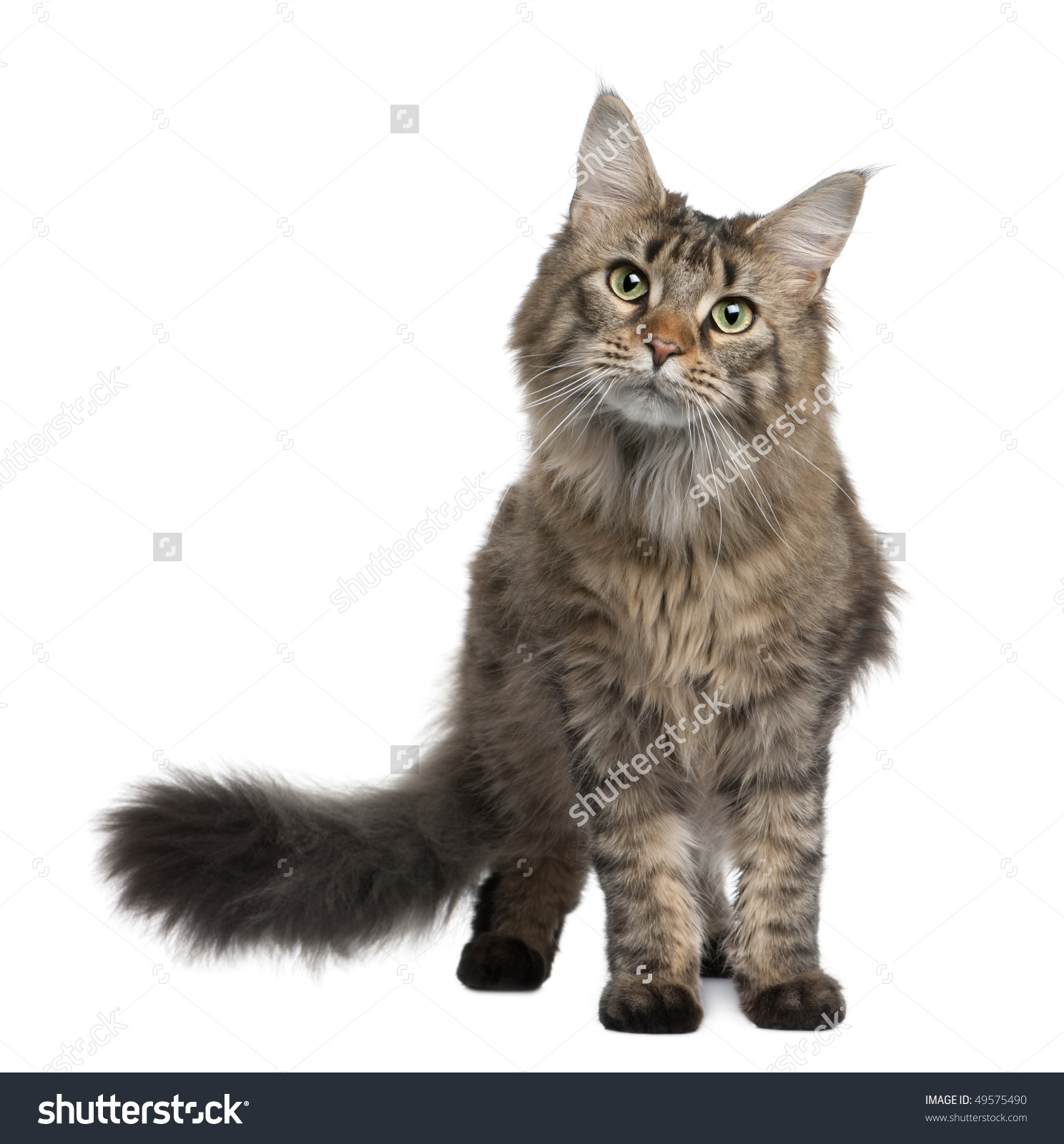 Maine Coon 1 Year Old Standing Stock Photo 49575490.