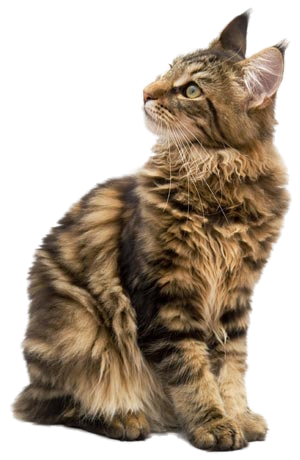 Maine Coon Cat Png.