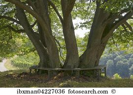 Linden tree Images and Stock Photos. 3,080 linden tree photography.
