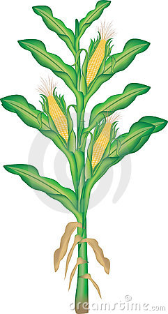 The Female Flower Of Corn Stock Photo.