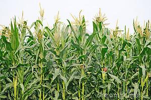 Maize field clipart #2