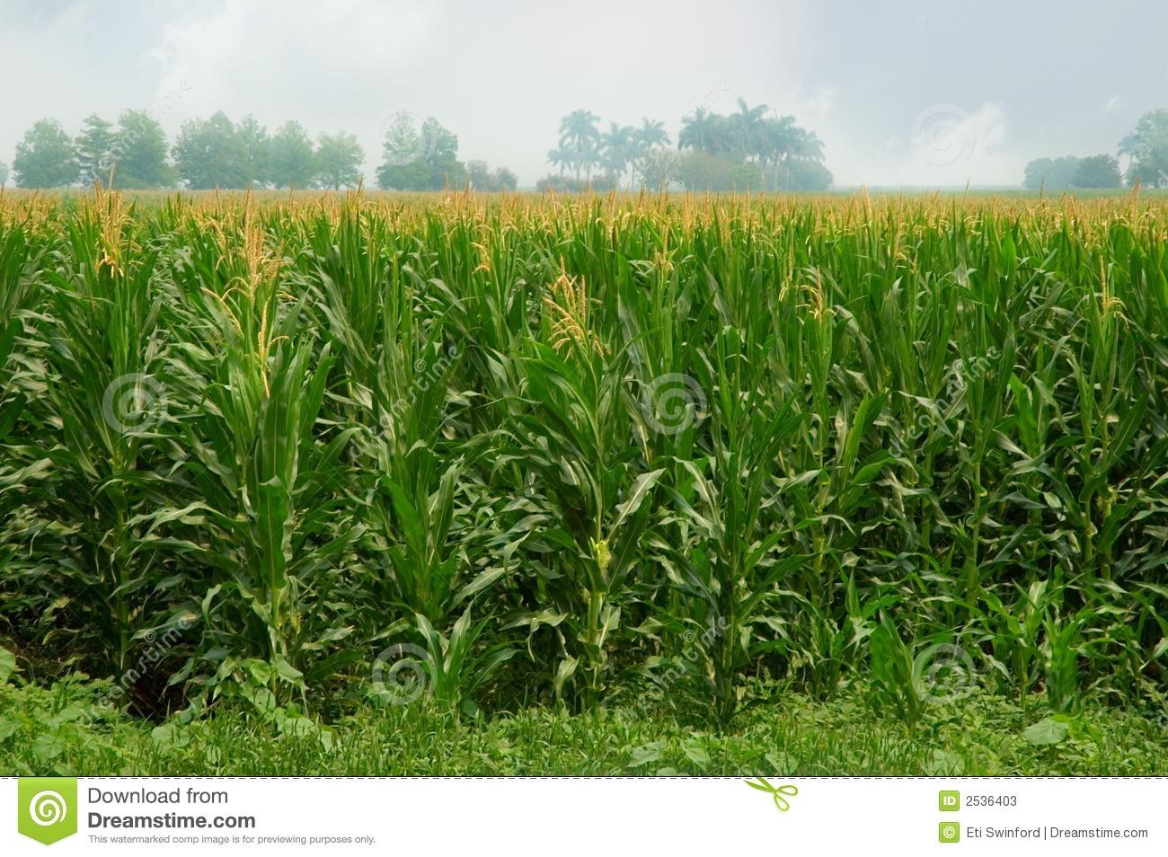 Maize fields clipart #19