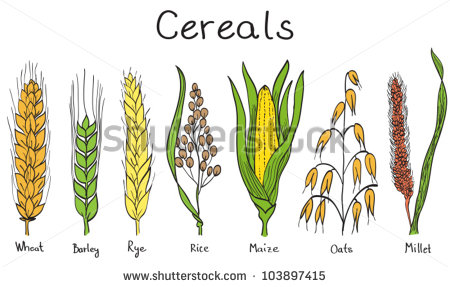 Maize Plant Stock Vectors, Images & Vector Art.