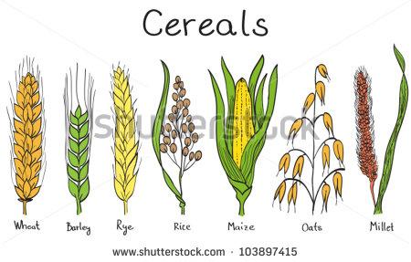 Maize grain clipart #16
