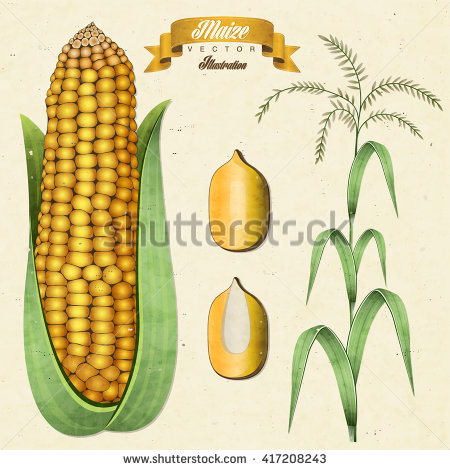 Maize types clipart #17