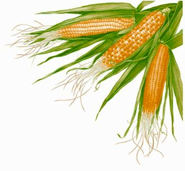 Corn Plant Growing Clipart.