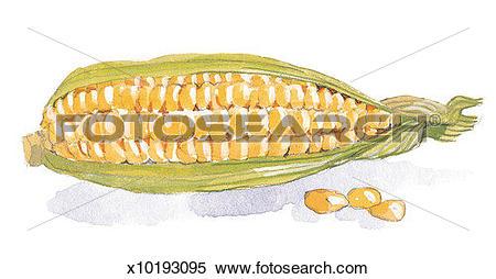 Corn cob Illustrations and Clipart. 558 corn cob royalty free.