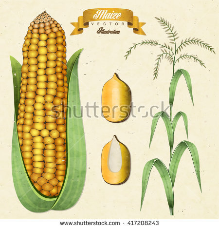 Maize types clipart #4