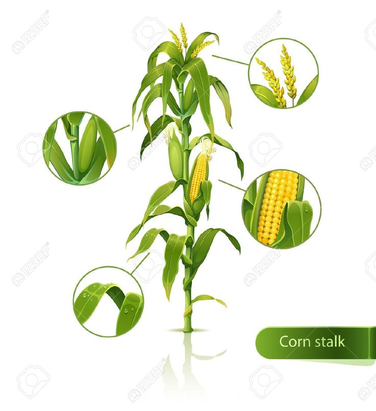 Maize varieties clipart #14