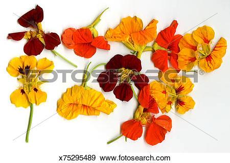 Stock Photograph of Nasturtium flowers (Tropaeolum majus.