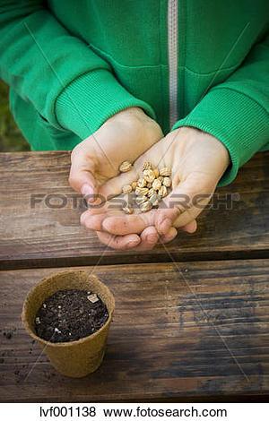 Pictures of Girl holding seeds of nasturtium, Tropaeolum majus.