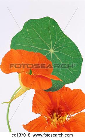 Pictures of Nasturtium (Tropaeolum majus) cd137018.