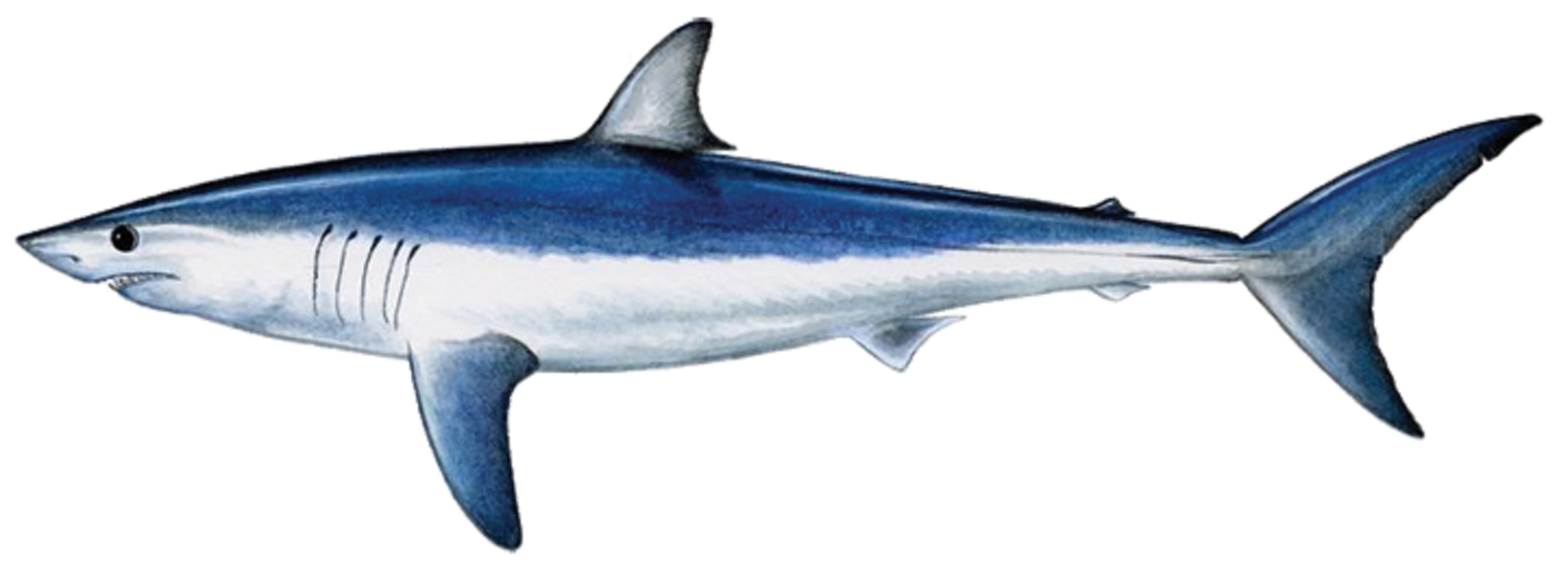 Mako Shark Clipart at GetDrawings.com.