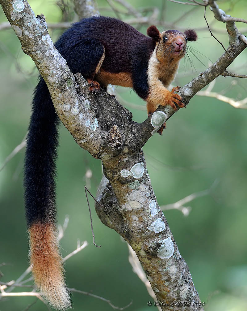 The Indian Giant Squirrel, (Ratufa indica) commonly known as the.