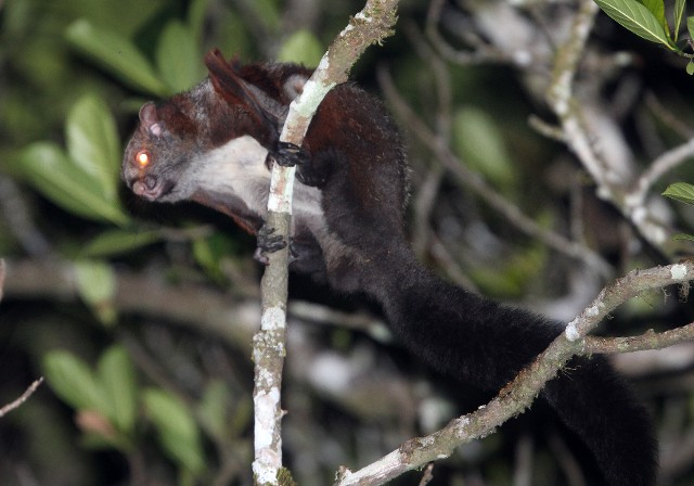 South Indian giant flying squirrel. ( Petaurista philippensis.