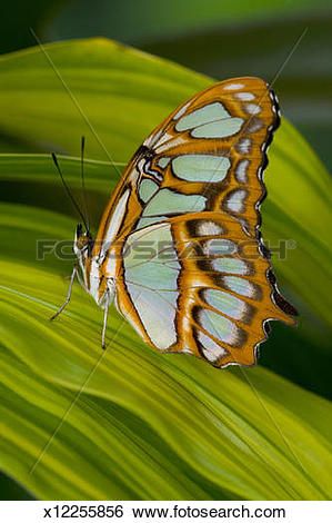 Stock Images of Malachite Butterfly (Siproeta stelenes) on Rhapis.