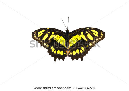 Malachite Butterfly Stock Photos, Royalty.