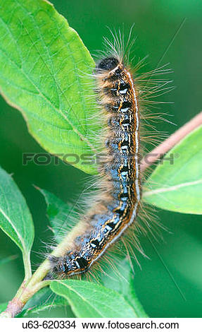 Stock Photo of Eastern tent caterpillar, Malacosoma americanum.
