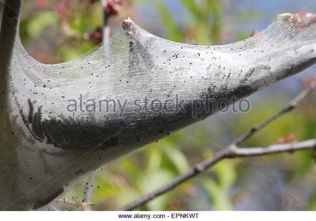 Moth Caterpillar Growth Stock Photos & Moth Caterpillar Growth.