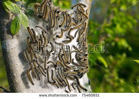 """tent_caterpillar"""" Stock Photos, Royalty."""