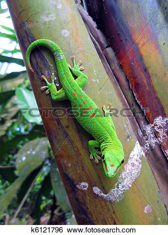 Stock Images of Green Madagascar taggecko on a palm tree k6121796.