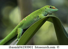 Madagascariensis Stock Photo Images. 672 madagascariensis royalty.