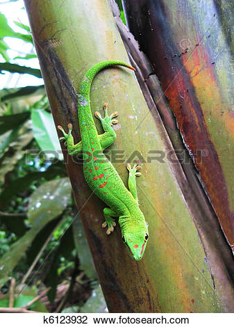 Stock Photo of Green Madagascar day gecko on a palm tree k6123932.