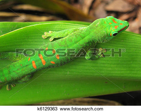Stock Photo of Madagascar day gecko k6129363.