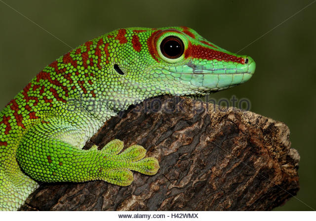 Phelsuma Madagascariensis Stock Photos & Phelsuma Madagascariensis.
