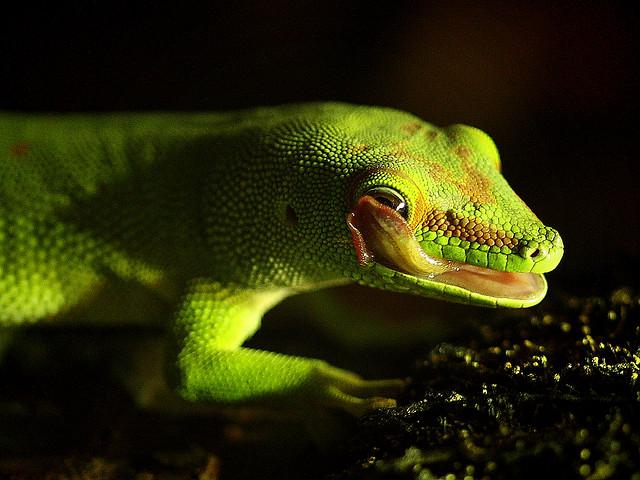 Madagascar Giant Day Gecko / Großer Madagaskar.