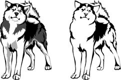 Malamute Stock Illustrations.