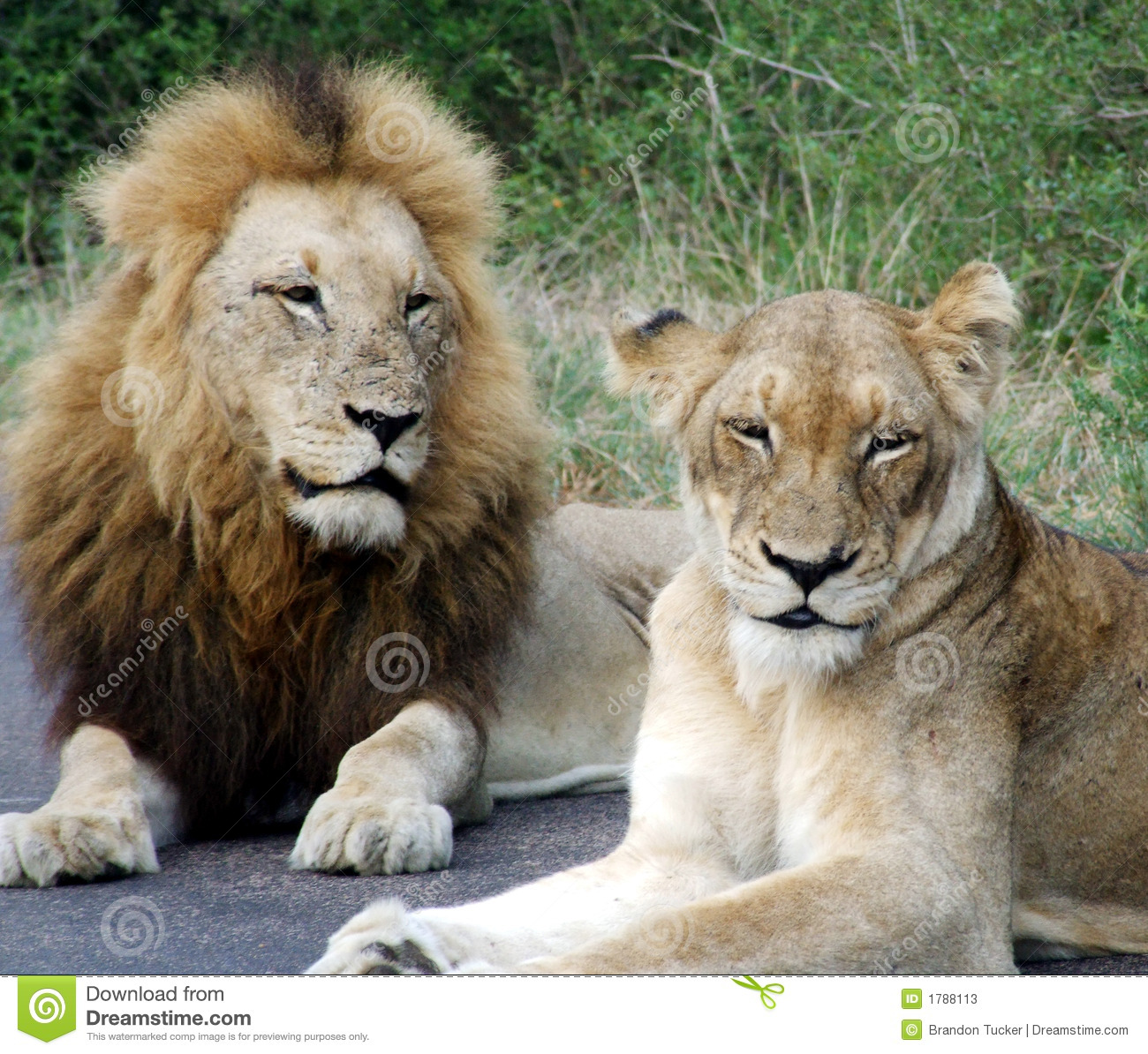 Male And Female Lion Stock Photos.