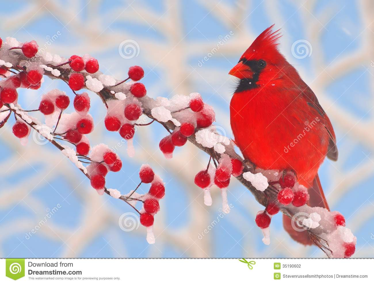 Male Winter Northern Cardinal Stock Photography.