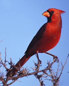 Cardinal Male Clip Art Download.