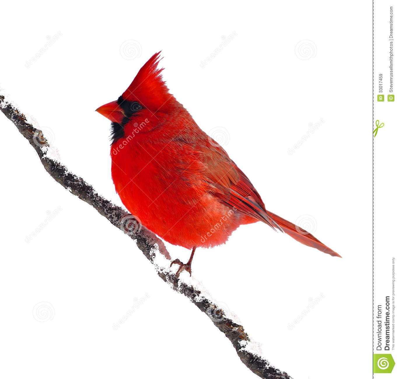 Cardinal clipart with no background.