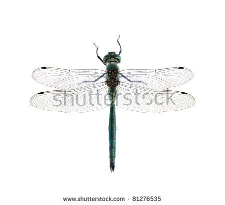 Dragonfly Anax Imperator Male Blue Emperor Stock Photo 126760358.