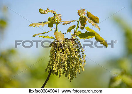 "Stock Photography of ""Pedunculate Oak (Quercus robur), flowering."