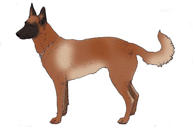 Malinois « DogWallah.