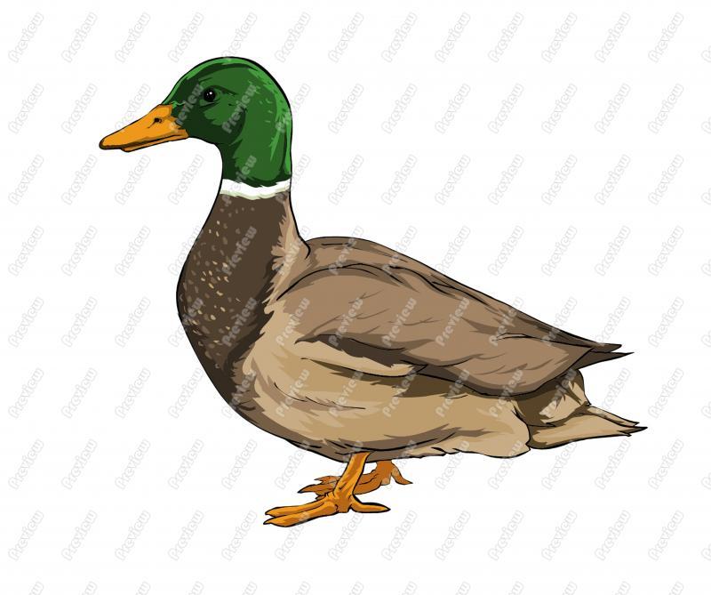 Mallard Duck Cartoon Clipart.
