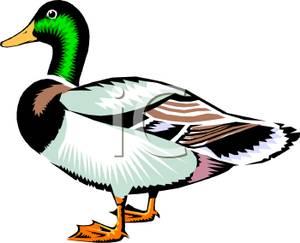 Mallard Duck Clipart Picture.